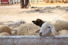 las ovejas parecen felices Imagen de archivo libre de regalías