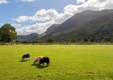 Las ovejas pastan cerca de districto del lago Buttermere Imagen de archivo libre de regalías