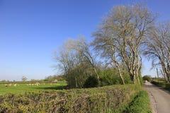 Las ovejas pastan en el campo inglés Imagen de archivo