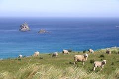 Las ovejas pastan en el pasto en el acantilado, isla del sur, Nueva Zelanda Imagenes de archivo