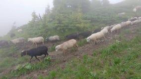 Las ovejas pastan en la hierba almacen de video