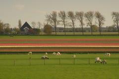 Las ovejas pastan en la hierba en una granja del tulipán en Frisia del oeste, Países Bajos Imagen de archivo