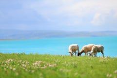 Las ovejas pastan en prado Fotografía de archivo