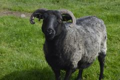 Las ovejas pegan, los animales del campo y animal doméstico Fotografía de archivo libre de regalías