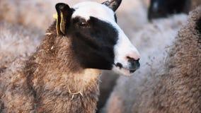 Las ovejas permanecen en manada en la granja y miran a los left and right metrajes