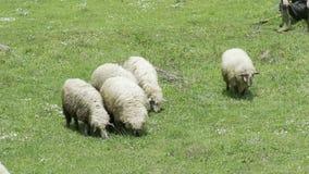 Las ovejas que comen la hierba en una granja HD 100fps almacen de metraje de vídeo