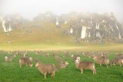 Las ovejas recolectan en un prado en la colina del castillo Imagen de archivo