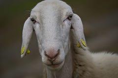 Las ovejas se cierran para arriba Imagenes de archivo