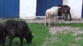 Las ovejas se colocan en la puerta que exige dejarlos metrajes