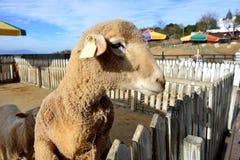 Las ovejas se han arruinado Fotos de archivo libres de regalías