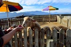 Las ovejas se han arruinado Fotografía de archivo libre de regalías