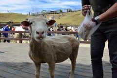 Las ovejas se han arruinado Foto de archivo