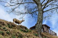 Las ovejas se han arruinado Imagen de archivo