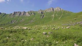 Las ovejas se reúnen el pasto en el prado alpino, montaña almacen de metraje de vídeo