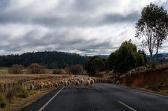 Las ovejas se reúnen ir a un nuevo pasto que bloquea el camino Imágenes de archivo libres de regalías