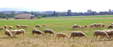 Las ovejas se reúnen pastando el prado en campo de hierba Imagen de archivo