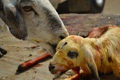 Las ovejas sirven de madre y bebé recién nacido Imagen de archivo