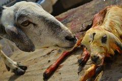 Las ovejas sirven de madre y bebé recién nacido Imagenes de archivo