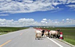 Las ovejas van a través del camino imagenes de archivo