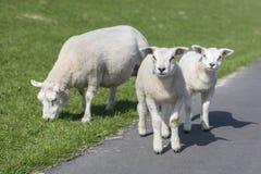 Las ovejas y dos pequeños corderos en un terraplén se inclinan Foto de archivo libre de regalías