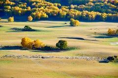 Las ovejas y el bosque del otoño en la pradera Fotos de archivo