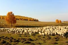 Las ovejas y el pastor Fotografía de archivo