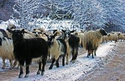 Las ovejas y la cabra se reúnen ir abajo de la montaña en invierno Foto de archivo