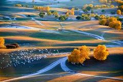 Las ovejas y los árboles de oro en la puesta del sol del prado Foto de archivo libre de regalías
