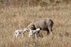 Las ovejas y los corderos recién nacidos en italiano Gran Sasso parquean imagenes de archivo