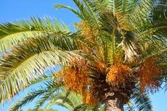 Las palmas de Crohn con las frutas iluminadas brillantemente por el sol imagenes de archivo