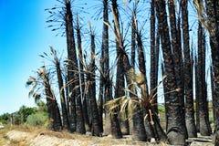 Las palmeras californianas quemaron por el fuego imagen de archivo libre de regalías