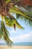 Las palmeras del coco con los cocos dan fruto en fondo tropical de la playa Foto de archivo libre de regalías