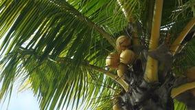 Las palmeras verdes tropicales, tiro de la cacerola, enfocan adentro metrajes