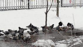 Las palomas alimentan adentro el invierno Los pájaros alimentan adentro invierno Pájaros en la nieve metrajes