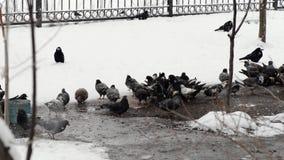 Las palomas alimentan adentro el invierno Los pájaros alimentan adentro invierno Pájaros en la nieve almacen de metraje de vídeo