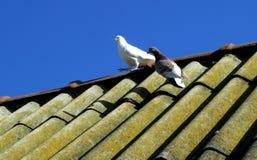 Las palomas caseras del deporte descansan sobre el tejado después del vuelo imagenes de archivo