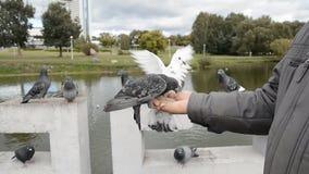 Las palomas comen de las manos Los pájaros de la ciudad se sientan en sus manos y picotean las semillas de girasol almacen de video