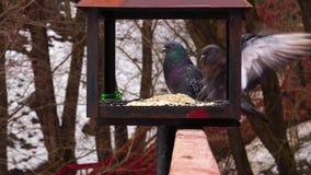 Las palomas comen el girasol