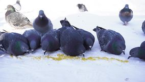 Las palomas comen en fila Primer de las palomas hermosas que picotean el grano dispersado en nieve Palomas de alimentación en par metrajes