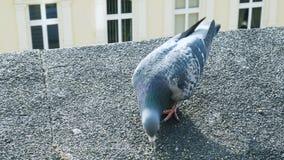 Las palomas comen la comida en el tejado Ci?rrese encima de la visi?n almacen de metraje de vídeo