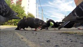 Las palomas comen las semillas almacen de metraje de vídeo