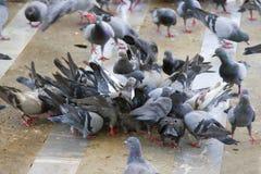 Las palomas comen mucha comida Fotografía de archivo libre de regalías