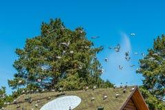 Las palomas criadas en línea pura se envían al vuelo Señal para las palomas - un círculo ligero en el tejado del palomar Foto de archivo