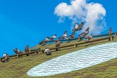 Las palomas criadas en línea pura se envían al vuelo Señal para las palomas - un círculo ligero en el tejado del palomar Imagenes de archivo