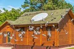 Las palomas criadas en línea pura se envían al vuelo Señal para las palomas - un círculo ligero en el tejado del palomar Fotografía de archivo libre de regalías