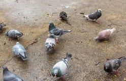 Las palomas de la ciudad comen el pan en el hormigón mojado después de lluvia imagen de archivo libre de regalías
