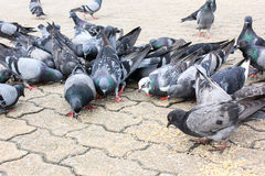 Las palomas de las masas comen la semilla del pájaro de la comida Imagenes de archivo
