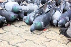 Las palomas de las masas comen la semilla del pájaro de la comida Fotos de archivo libres de regalías