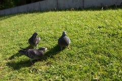 Las palomas en el parque Imagen de archivo libre de regalías