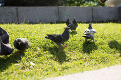 Las palomas en el parque Imágenes de archivo libres de regalías